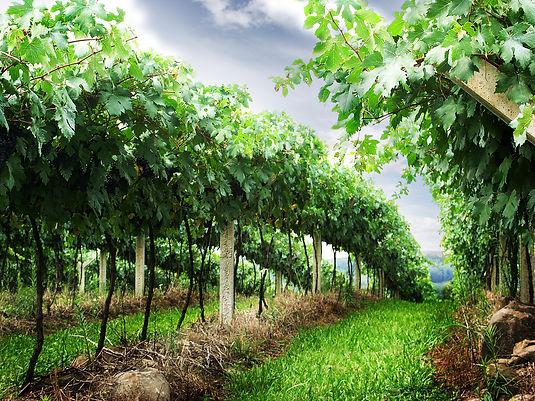 grape-wine-1327186.jpg