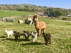Ffarm Alpaca Tedi & the pygmy goats jpeg