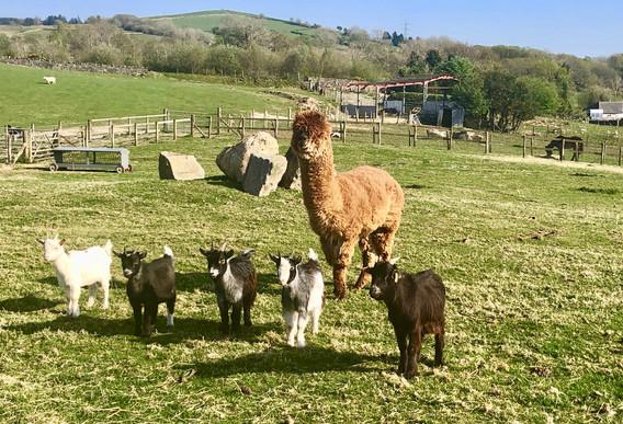 Alpaca Tedi & the pygmy goats jpeg.jpeg
