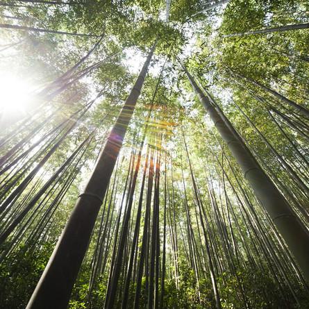 Bambus - ein vielseitiger Rohstoff