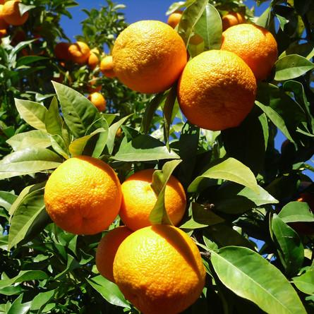 Energiegewinnung aus Orangen?
