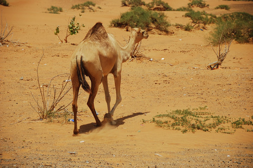 UAE: Ras al Khaimah - City Tour & a night in the desert.