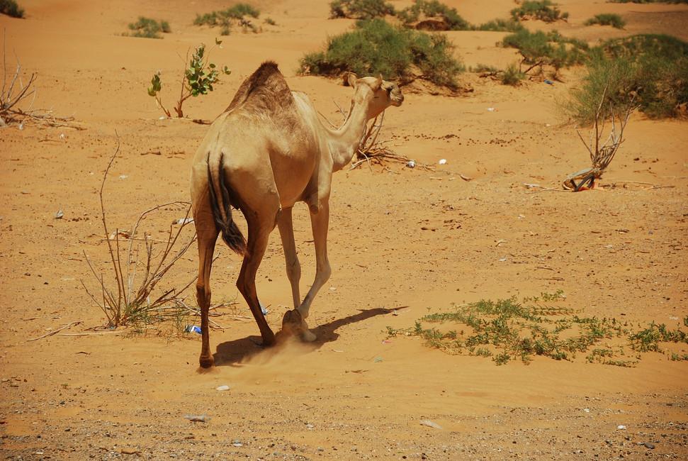 UAE: Ras al Khaimah - City Tour & a night in the desert.