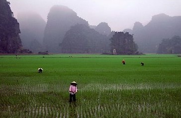 vietnam+rice+fields_edited