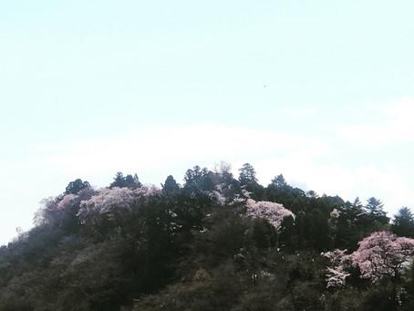 桜はいつも通り咲きますね