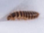 carpet-beetle-larvae.png