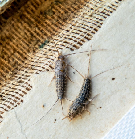 silverfish thermobia near the binding of