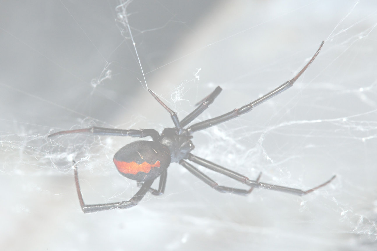 Spider%2C%20Red-back%2C%20Lacrodectus%20