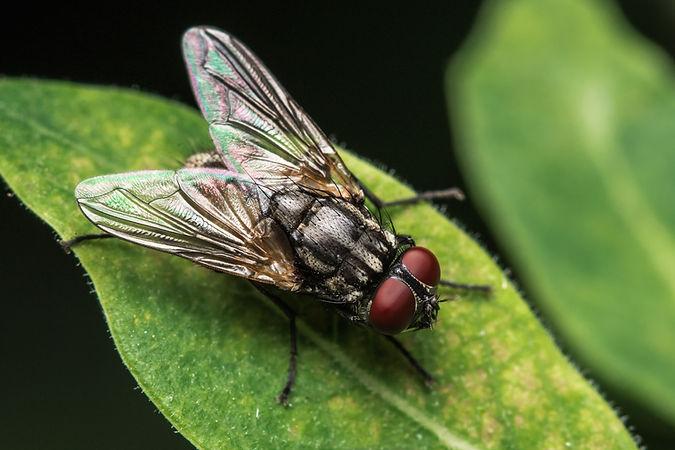 House fly, Fly, House fly on leaf.jpg