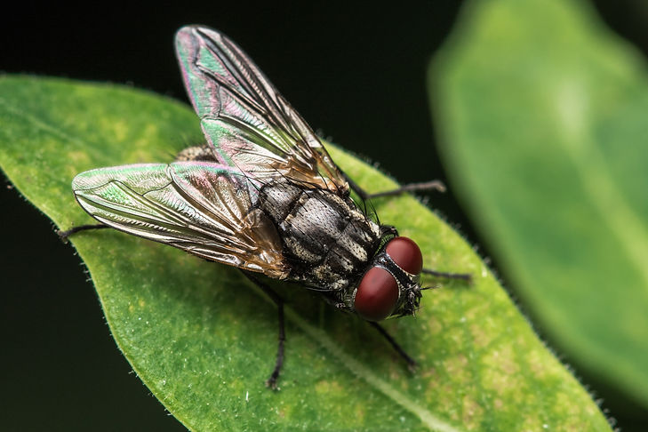 House fly, Fly, House fly on leaf.jpg