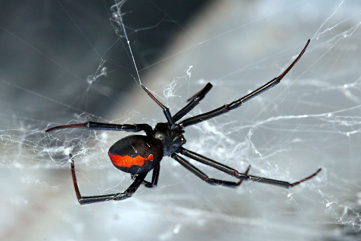 Spider, Red-back, Lacrodectus Hasselti,