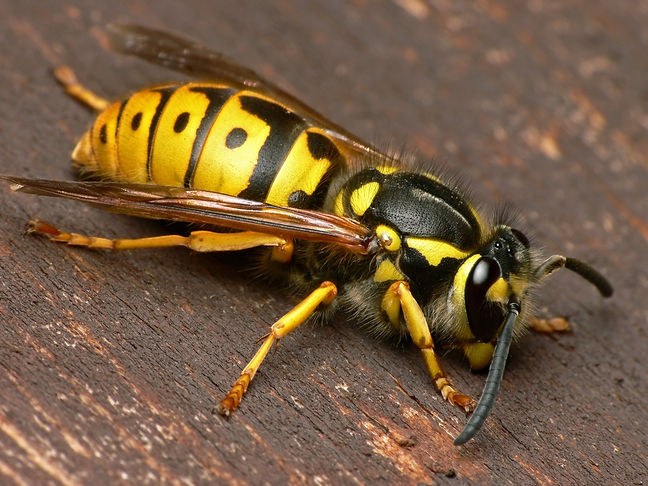 European wasp.jpg