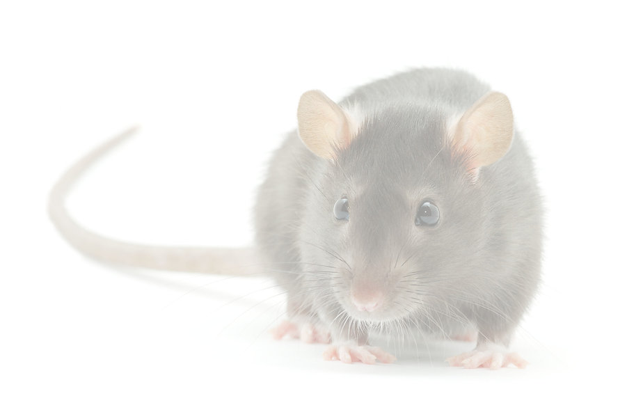 funny%20rat%20%20isolated%20on%20white%2