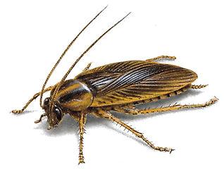 german-cockroach-illustration_397x300.jp