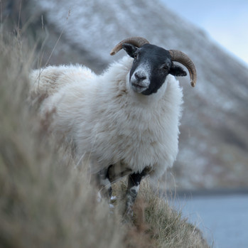 Skye Sheep