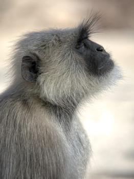Grey Langur Monkey
