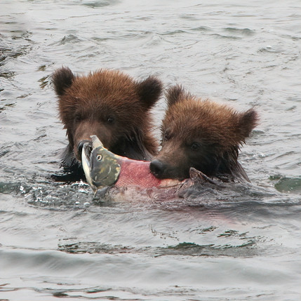 Grizzly (Brown) Bear cubs