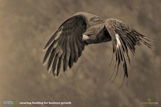 Cresco - Hawk