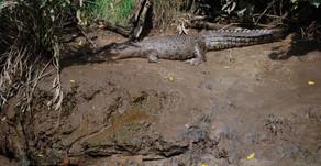 Seen my first wild Crocodile!