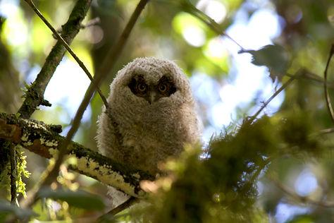 Búho Owl