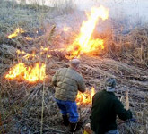 burning of the phragmites