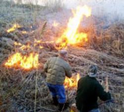 burning of the phragmites