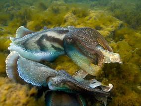 Cuttlefish fight club