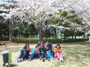 2017年 桜満開です。