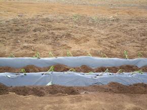 サツマイモの苗を植え付けました。