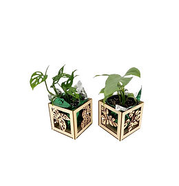 Philodendron indoor plan with cutom boxes