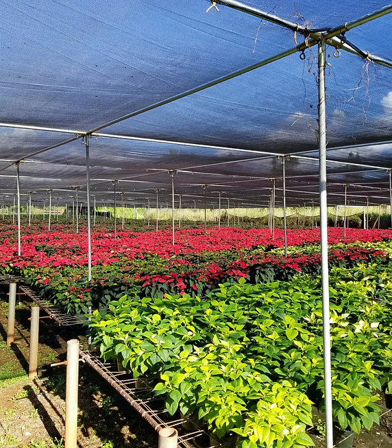 Alluvion Nursery Pointsettia Plant Grower