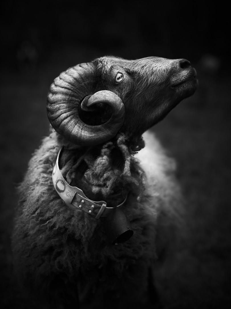 Ritratto animale - Montone.jpg