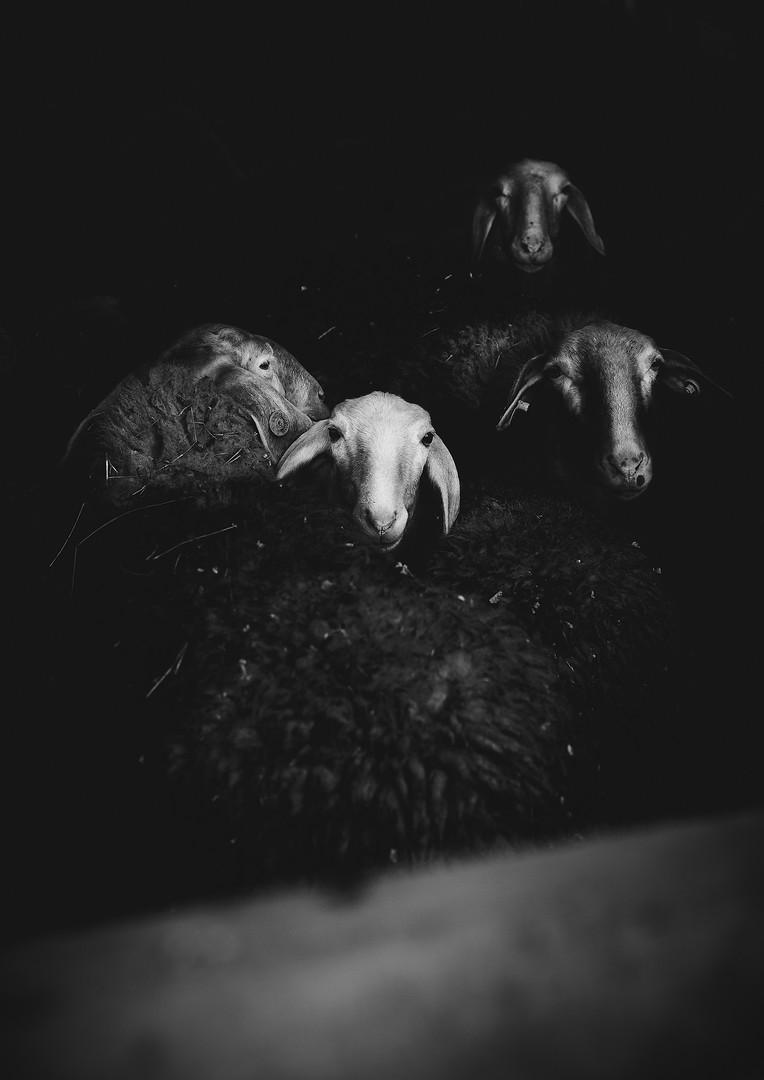 Ritratti animale - Pecora.jpg