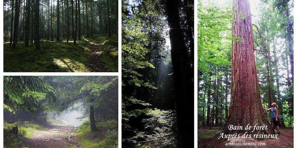 Bain de forêt auprès des résineux