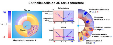 [104] Biomaterials, 265, 120420, (2021)