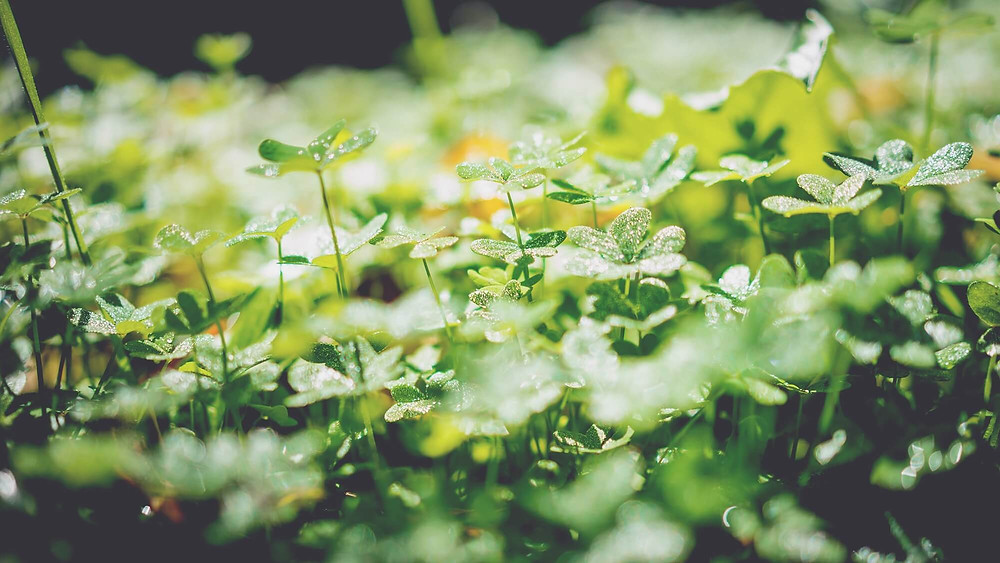 Tanaman baru yang bertumbuh dari tanah dengan tetesan embun di daun baru
