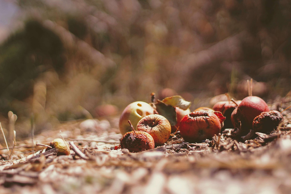 A bunch of rotting fruits left on the ground of a dried grassy area