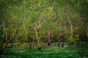 Sundarbans mangroves.jpg