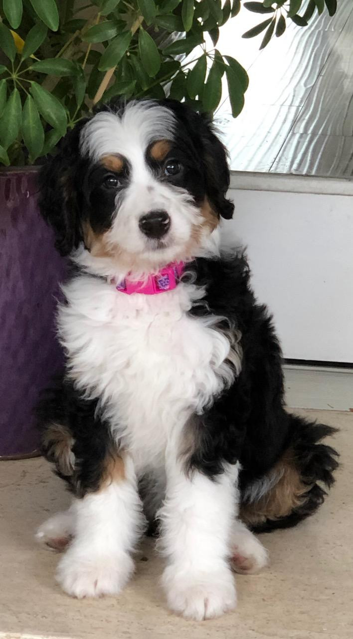 Bernedoodle Puppies For Sale Dunbar Doodles United States