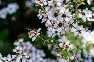 Honey bee on New Zealand Manuka flower.j