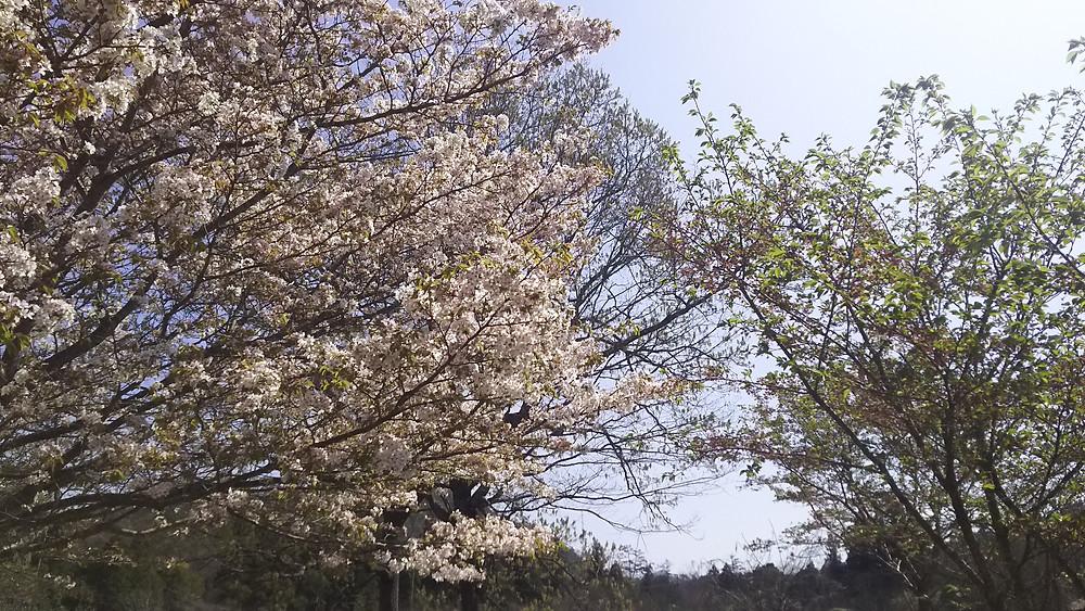 葉桜と満開の桜
