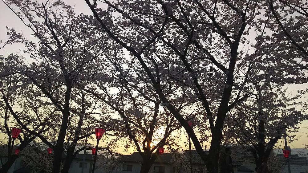 廿日市桜まつりの桜、満開です。