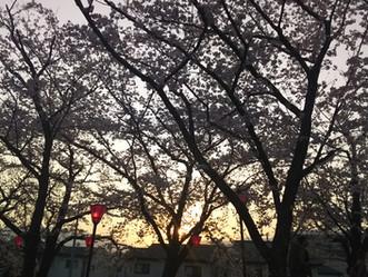 廿日市桜まつり