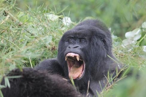Gorillas and Reflection in Rwanda