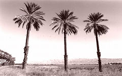 datepalms.jpg