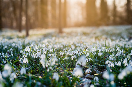 Sunlit forest full of snowdrop flowers i