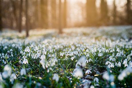 Sunlit forest full of snowdrop flowers i