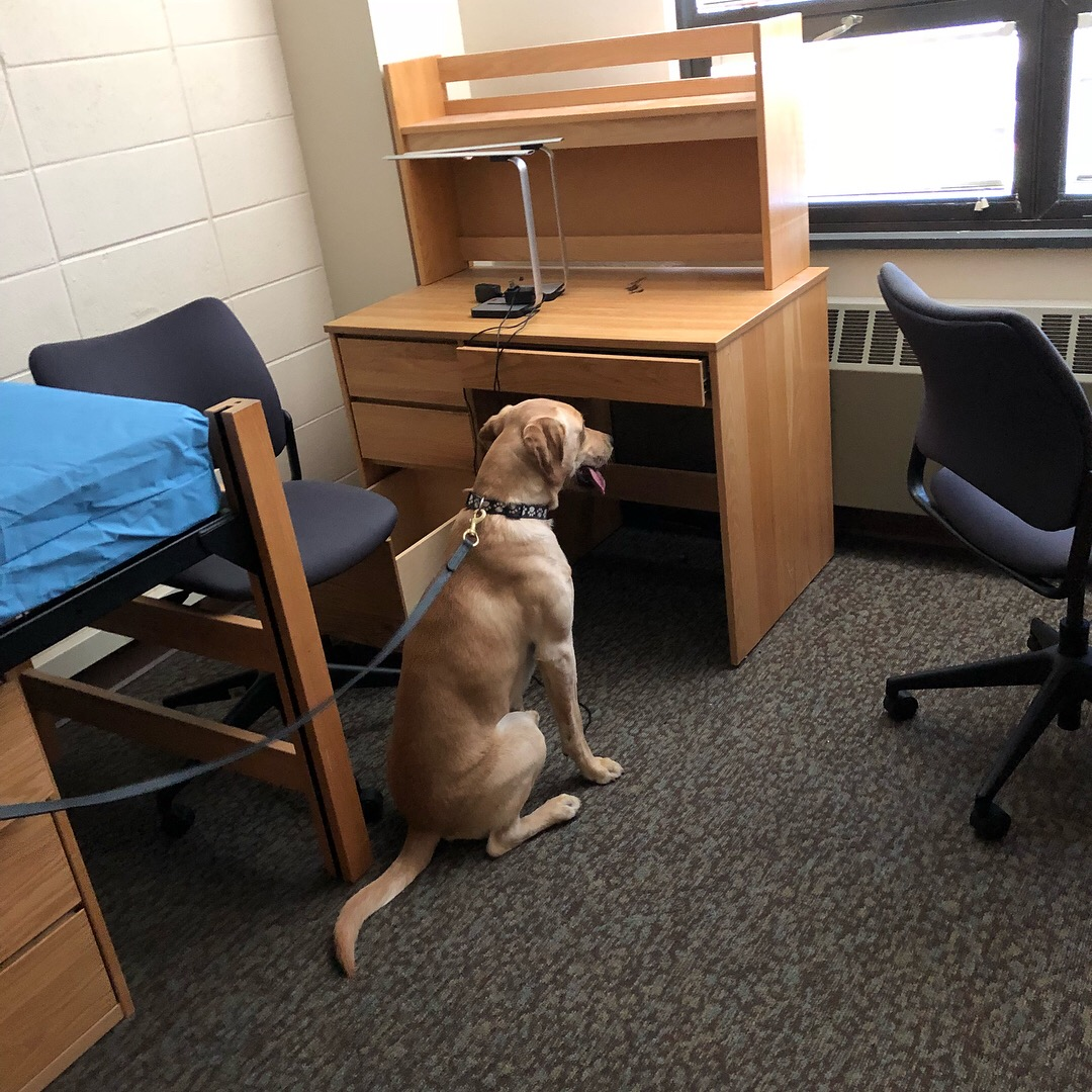 K9 Bolton alerting to the presence of Bed Bugs.