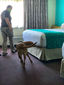 K9 Primrose searching a hotel bed.