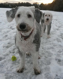 More fun in the snow with Melvin and mischief! #paws4thought #doggydaycare #dogwalking #oldenglishsheepdog #duluxdog #walkies #dogsofinstagr
